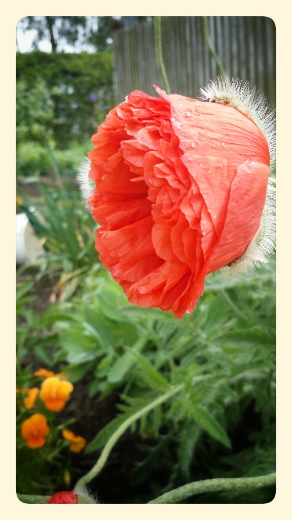 The peace of a poppy