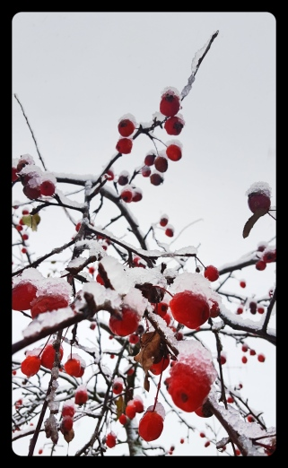 A few red berries covered in icy snow